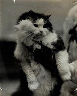 GATO CHAT KAT CAT  ANIMAUX ANIMALS ANIMALES 21*16CM Fonds Victor FORBIN 1864-1947 - Otros