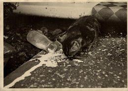 GATO CHAT KAT CAT ANIMAUX ANIMALS ANIMALES 20*15CM Fonds Victor FORBIN 1864-1947 - Otros