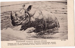 Rhino - Rhinoceros - African Rhino Comes Out Of The Water - Russian Old Postcard 1910s  Very Rare - Rinoceronte