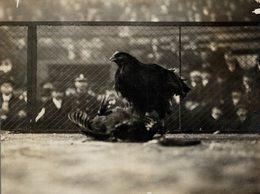 COCK FIGHTING LILLE CHAMPIONSHIP HIPPODROME FRANCE  COMBATS COQS 20*16CM Fonds Victor FORBIN 1864-1947 - Otros
