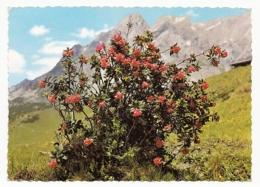 Alpenrosen In Den österreichischen Bergen ~ 1965 - Blumen