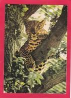 Modern Post Card Of Big Cat,Leopard At Marwell Zoo,,L68. - Cats