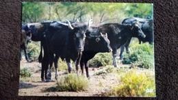 CPSM EN CAMARGUE AVEC LES GARDIANS MANADE DE TAUREAUX SAUVAGES DANS LES TAMARIS ED P E C 1986 - Bull