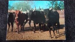 CPSM LES BELLES IMAGES DE CAMARGUE TAUREAUX DANS LE BOUAO ED G A L 1986 - Bull