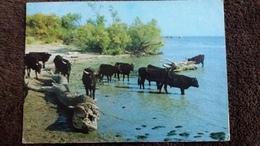 CPSM IMAGES DE CAMARGUE TAUREAUX ED VETS 1986 PROVENCE 221 - Bull