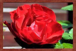 Rose (83121) - Blumen