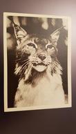 Riga Zoo - Old Soviet Postcard - 1960s - Lynx - Letland