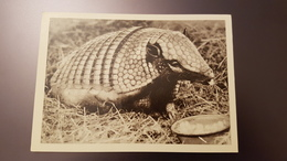 Riga Zoo - Old Soviet Postcard - 1960s - Armadillo - Letland
