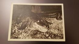 Riga Zoo - Old Soviet Postcard - 1960s - Alligator - Letland