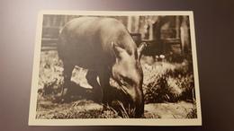 Riga Zoo - Old Soviet Postcard - 1960s - Tapir - Letland