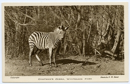 WHIPSNADE PARK ZOO : CHAPMAN'S ZEBRA - Cebras