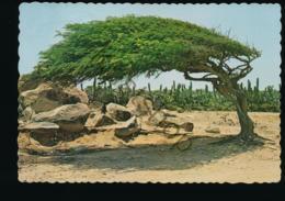 Aruba - The Famous Divi-Divi Tree [AA46-3.903 - Aruba