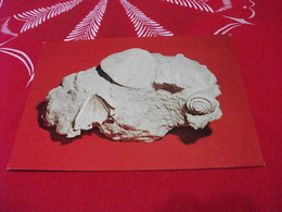 CONCHIGLIA Shell COQUILLES CONCHAS PREHISTORIC CONCUS SP  MUSEO DI PALEONTOLOGIA E MINERALOGIA  CAMPOMORONE GE - Museum