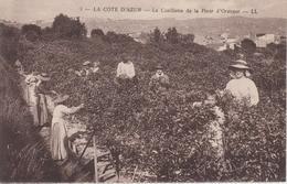 CPA La Côte D'Azur - La Cueillette De La Fleur D'oranger (très Belle Scène) - France
