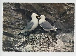 Mouette -couple De Mouettes Tridactyles- Rissa Tridactyla - Réserve étude Protection Nature En Bretagne (cp Vierge) - Birds