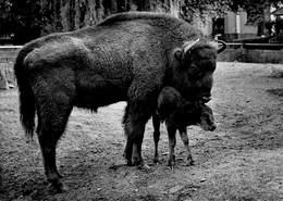 Zoo Van Antwerpen Anvers Fotokaart Foto Europese Bison Met Kalf     Barry 3862 - Autres