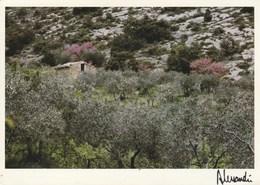 Provence. Argent Des Oliviers. Rose Des Arbres De Judée Photo Alessandri - Provence-Alpes-Côte D'Azur