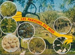 C. P. - PHOTO - LES PARFUMS DU MIDI - SERPOLET - BASILIC - ROMARIN - AIL - THYM - FENOUIL - LAURIER - CIM -3 CP 82 4941 - Botanik
