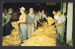 Tobacco Auctioneer - Tobaccoland Farmer Arragnges His Tobacco On Individual Baskets According To Grade. - Tabaco