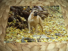 Hund Dog Chien Bullmastif (dogge) Postkarte Postcard - Dogs