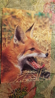 Fuchs (Raubtier), Renard  - Fox - Old Postcard - - Tierwelt & Fauna