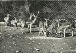 Daim Damhert Fallow Deer Damhirsch / Zoologischer Garten Zürich - Autres
