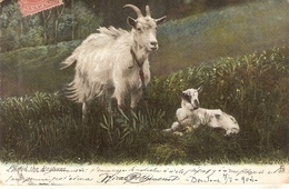 """Goats. Among The Pastures..""  Tuck Photochrome  Animal Life Ser.PC # 1417 - Tuck, Raphael"