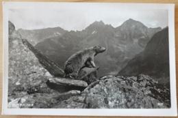 Murmeltier Marmot Marmota Marmotte Animal Mountains Alps Alpen - Sonstige