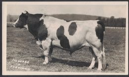NN59   Bue Vitello Mucca - Ox Veal Cow - Boeuf Veau Vache - Kuh Kalb Ochse - Mucche