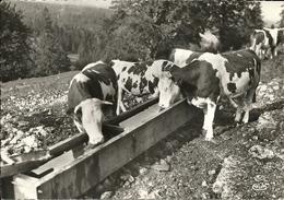 Le MONT D'OR - 25 - Pâturages Du Doubs - Vaches à L'abreuvoir - Autres Communes