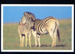 CPM Neuve Faune Zèbre Et Son Petit - Zebras