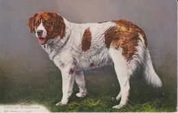 CHIENS CHIEN DU SAINT BERNARD - Dogs