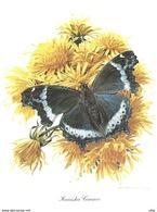Papillons Vlinders Butterfly KANISKA CANACE  Chromos Delhaize 25,5 X 19,5 CM - Animaux