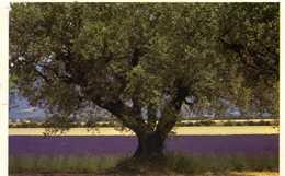 Photo Alessandri - Images & Lumières - Provence : Olivier Et Lavande - 1986 - Botanik
