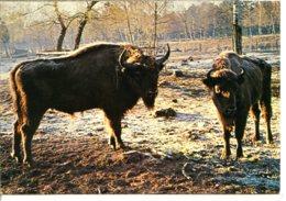 72370 LE BREIL-SUR-MERIZE - Parc Animalier - Les Bisons D'Europe - Domaine De Pescheray - France