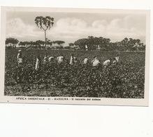 Real Photo Mansura Il Raccolto Dei Cotone . Cotton Picking . . P. Used Asmara  Edit Traldi Milano - Erythrée