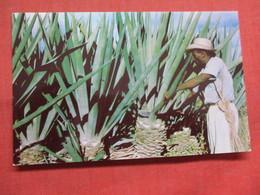 Harvesting Sisal Leaves Cap Haiti  Haiti Ref 3796 - Haiti