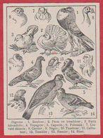 Pigeon. Pigeons. Illustration Adolphe Millot. Pigeonnier. Pigeonniers. Larousse 1931. - Historische Dokumente