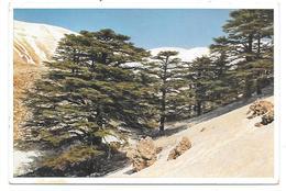 Les  Cèdres Du Liban - The Cedars Of Lebanon - Ed. UVACHROM AG, Munich N° 6417 - Liban