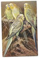 AUGUSTE SPECHT Carte Illustrée Perruches - Oiseaux