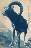 J14 - 20B - ASCO - Corse - Mouflon Capturé Dans Les Environs Du Village D'Asco - France