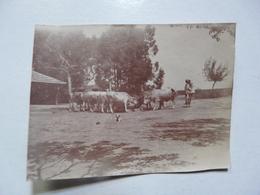 PHOTO ANCIENNE - TUNISIE : Boeufs à L'abreuvoir - Aouina - Africa
