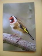 CPM Eurasian Goldfinch Chardonneret - Birds