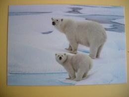 CPM Polar Bear Mother & Cub, Mère Et Ourson Ours Polaire - Beren
