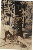 Malaysia/Singapore ? - Rubber Plantation, Tapping For Rubber, - Malaysia