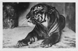Anvers Jardin Zoologique Tigre Royal - Antwerpen