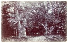 TREES : QUEEN OAKS - BOLDERWOOD, NEW FOREST / ADDRESS - CULLOMPTON, DUKE STREET - Trees