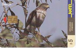Nº 111 TARJETA DE URUGUAY DE ANTEL DE UN GAVILAN CHIP NEGRO (PAJARO-BIRD-EAGLE) - Uruguay