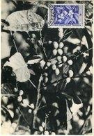 50296 Afrique Equat.francaise , Maximum 22.6.1959  ,plants Of Coffee   Le Cafè  The Coffee - Ernährung
