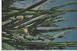 CARTE PUB AMORA  LA REUNION CACTUS    TIMBREE DU PAYS SUJET  - 1961 - Werbepostkarten